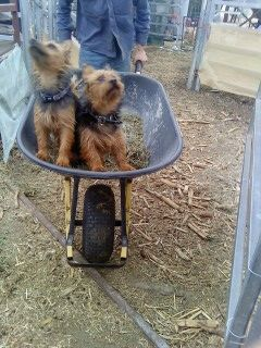 Airedale Terrier Plucked